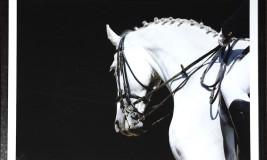 equestrian white stallion
